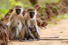 对与护理婴儿的黑长尾小猴 免版税库存照片