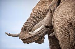 对与纠缠的树干的男性大象 库存图片