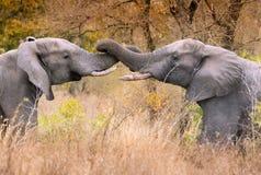 对与纠缠的树干的男性大象 免版税库存照片