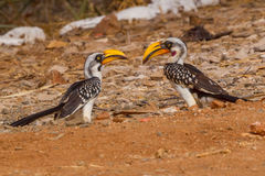 对东部黄色开帐单的犀鸟- Tockus flavirostris 免版税库存照片