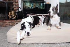 对丹麦种大狗 免版税库存图片