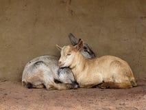 对二个年轻人的面颊山羊 库存图片
