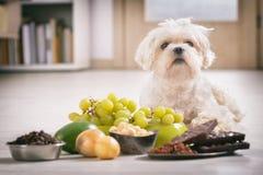对他的小犬座和食物含毒物 库存图片