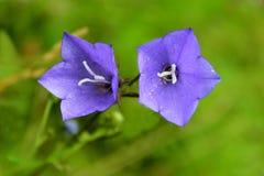 对会开蓝色钟形花的草花  库存照片