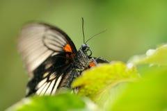 对伟大的摩门教蝴蝶头的特写镜头细节  免版税库存图片