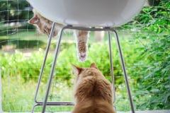 对使用在绿色庭院前面的一把椅子的姜猫 免版税库存照片