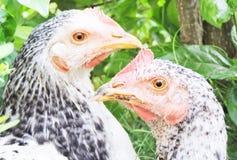 对公鸡 免版税图库摄影