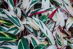 对分期付款的植物Clenanthe Oppenheimiana E的特写镜头 Morren/三色竹芋科背景 免版税库存图片
