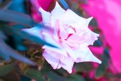 对创造性的样式和纹理的葡萄酒玫瑰色花淡色 免版税图库摄影