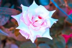 对创造性的样式和纹理的葡萄酒玫瑰色花淡色 免版税库存图片