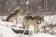 对北美灰狼在冬天环境里 免版税库存图片