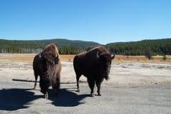 对北美野牛在黄石 免版税库存照片