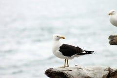 对南部的支持黑的海鸥 免版税库存图片