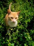 对受害者狩猎的黄色镶边白色猫谨慎行事 免版税图库摄影