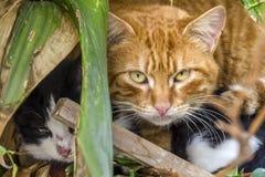 对可爱猫掩藏 免版税库存照片