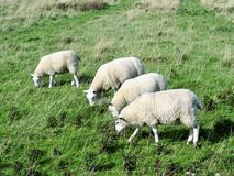 对吃草flamborough头沿海道路的绵羊的Bridlington 免版税库存照片