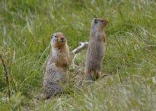 对哥伦比亚地松鼠-班夫国家公园,加拿大 库存图片
