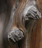 对在一个被风化的布朗树干的灰色树结 免版税库存图片