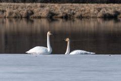 对在冰的野天鹅 免版税库存图片