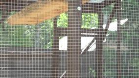对在动物园笼子的浣熊动物 股票视频