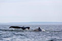 对在圣胡安海岛,华盛顿州附近的驼背鲸 免版税图库摄影
