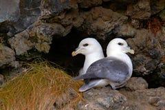 对在巢北管鼻获的鸟, Fulmarus glacialis,筑巢在黑暗的峭壁 在巢对的两只白海鸟  免版税图库摄影