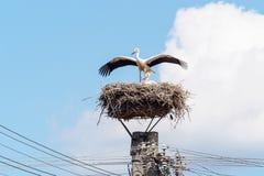 对在巢的鹳 免版税图库摄影