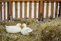 对在干草的白色鸭子 对Pekin鸭子 库存图片