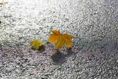 对在柏油碎石地面的槭树叶子 库存图片