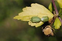 对在植物的一片黄色叶子的绿色甲虫 库存图片