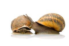 对在爱的蜗牛 库存照片