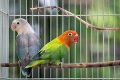 对在笼子的爱情鸟夫妇 免版税库存照片