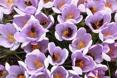 对在蜂的每朵番红花。 免版税库存照片