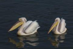 对在鲸湾港纳米比亚的伟大的白色鹈鹕 免版税库存图片