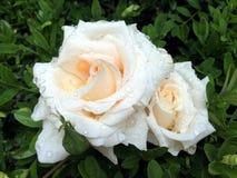 对在黄杨木潜叶虫叶子的湿多雨玫瑰  库存照片