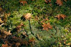 对地面的干燥槭树叶子秋天 青苔始终密集地被盖 作为背景的偏僻的用途图象 库存图片
