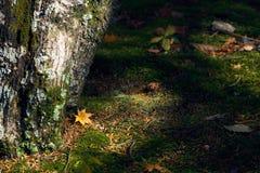 对地面的干燥槭树叶子秋天 青苔始终密集地被盖 作为背景的偏僻的用途图象 免版税库存照片