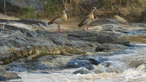 对埃及鹅和一条鳄鱼由玛拉河的边缘马塞人玛拉比赛储备的 股票录像