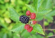对大庭院黑莓的莓果在分支 免版税库存照片