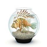 对大的狮子鱼fishbowl的 免版税图库摄影