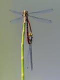 对大红色蜻蜓系动词 库存照片