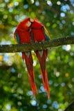 对大鹦鹉猩红色金刚鹦鹉, Ara澳门,两只鸟坐分支,哥斯达黎加 野生生物从热带森林natur的爱情戏 库存照片