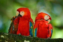 对大鹦鹉猩红色金刚鹦鹉, Ara澳门,两只鸟坐分支,巴西 野生生物从热带森林自然的爱情戏 T 免版税图库摄影