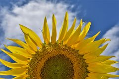 对天空的向日葵 库存照片