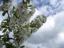 对天空的樱桃绽放 库存照片