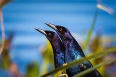 对小船盯梢了grackle,在前面鸟的选择聚焦 库存图片