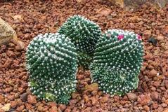 对小组的特写镜头Mammillaria Bucareliensis仙人掌仙人掌科,多汁和干旱的厂 免版税库存图片