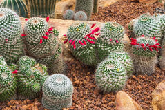 对小组的特写镜头Mammillaria Prolifera杂种仙人掌仙人掌科,多汁和干旱的厂 免版税库存图片