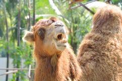 对尖叫的骆驼开放嘴 库存图片