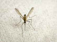 对尝试的叮咬蚊子 图库摄影